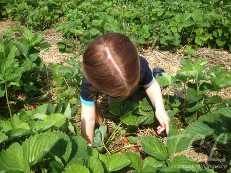 strawberry picking 3